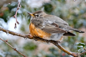american robin gloucester massachusetts -18 turdus migratorius 1-21-2019 copyright kim smith