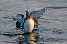 american wigeon male gloucester massachusetts copyright kim smith - 07