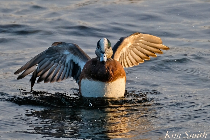 american wigeon male gloucester massachusetts copyright kim smith - 09