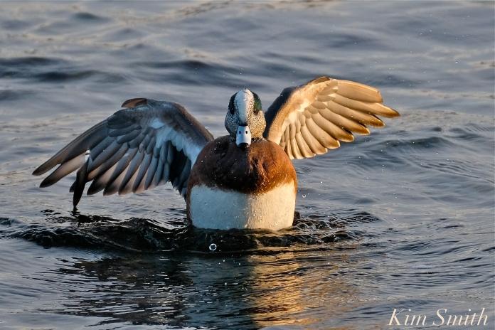 american wigeon male gloucester massachusetts copyright kim smith - 09