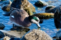 american wigeon male gloucester massachusetts copyright kim smith - 16