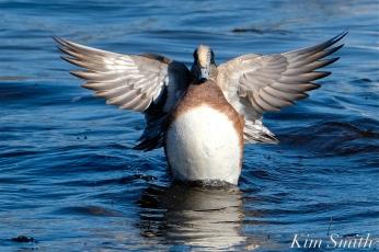 american wigeon male gloucester massachusetts copyright kim smith - 17