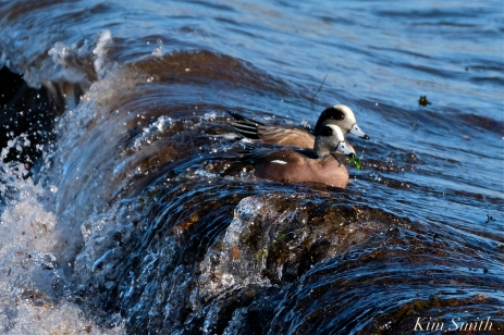 american wigeon male gloucester massachusetts copyright kim smith - 18