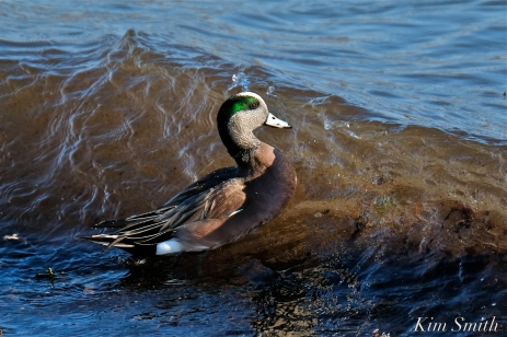 american wigeon male gloucester massachusetts copyright kim smith - 25