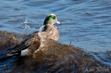 american wigeon male gloucester massachusetts copyright kim smith - 33