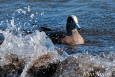 american wigeon male gloucester massachusetts copyright kim smith - 35