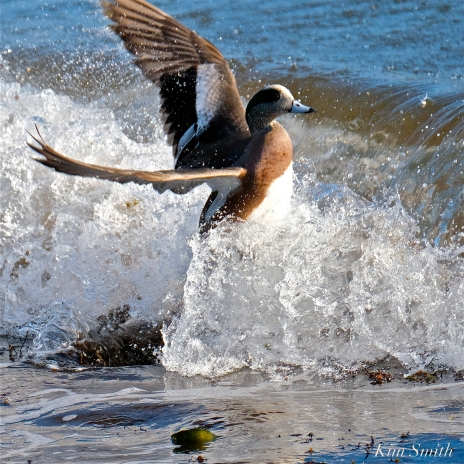 american wigeon male gloucester massachusetts copyright kim smith - 37