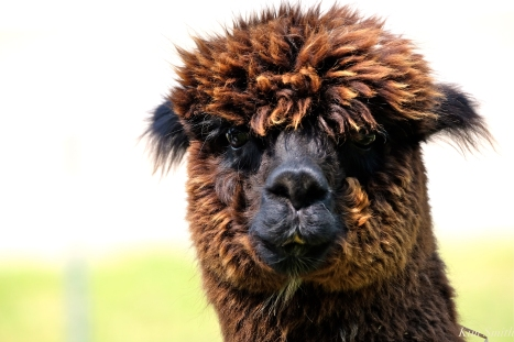 angies-alpacas-gloucester-ma-copyright-kim-smith