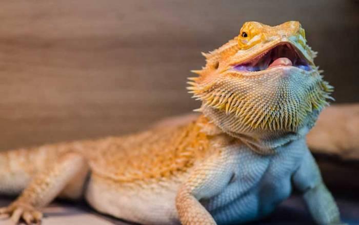 bearded-dragon-behavior