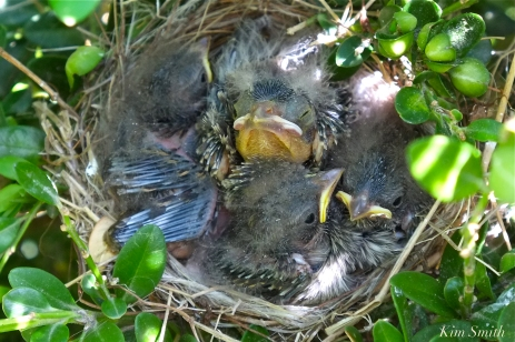 chipping-sparrow-nest-3-copyright-kim-smith