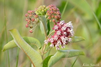 common-milkweed-asclepias-syriaca-good-harbor-beach-gloucester-ma-5-copyright-kim-smith