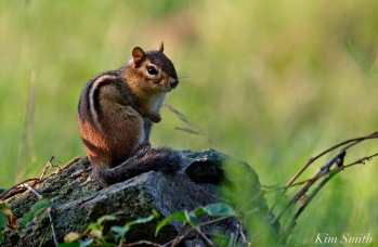 eastern-chipmunk-copyright-kim-smith