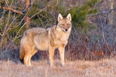 eastern-coyote-canis-latrans-var-gloucester-ma-copyright-kim-smith