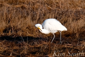 great egret fishing crane beach copyright kim smith