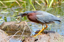 green-heron-butorides-virescens-gloucester-ma-13-copyright-kim-smith