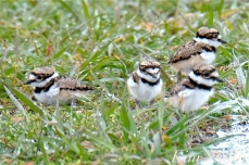 killdeer-plover-four-chick-good-harbor-beach-gloucester-ma-copyright-kim-smith