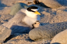 least-tern-chick-two-days-old-3-copyright-kim-smith