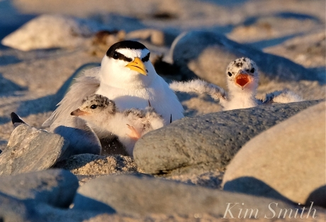 least-tern-chicks-two-days-old-1-copyright-kim-smith
