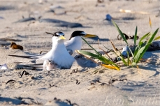 least-tern-one-day-old-chicks-adults-male-female-2-copyright-kim-smith