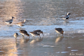 long-billed-dowitcher-black-bellied-plover-copyright-kim-smith