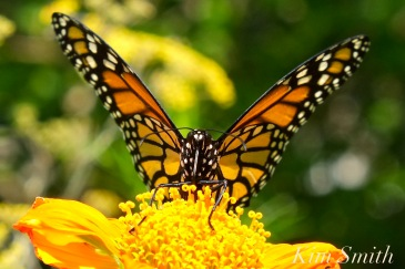 monarch-buttefly-mexican-sunflower-tithonia-copyright-kim-smith6