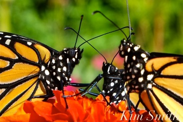 monarch-butterfly-conference-copyright-kim-smith