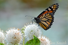 monarch-butterfly-drinking-nectar-buttonbush-copyright-kim-smith