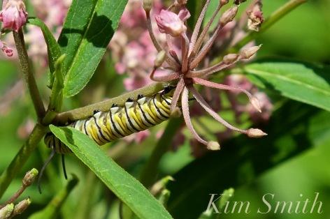 monarch-caterpillar-marsh-milkweed-aclepias-incarnata-2-copyright-kim-smith