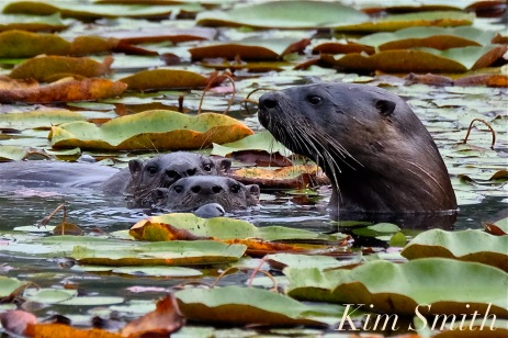 north-american-river-otter-mother-and-two-kits-pups-copyright-kim-smith