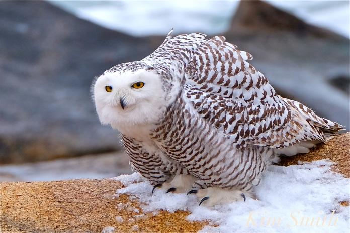 nowy-owl-feet-female-hedwig-gloucester-ma-3-copyright-kim-smith