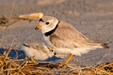 piping-plover-13-day-old-chick-good-harbor-beach-gloucester-ma-13-copyright-kim-smith