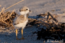 piping-plover-13-day-old-chick-good-harbor-beach-gloucester-ma-6-copyright-kim-smith