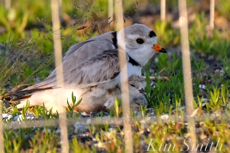 piping-plover-chicks-good-harbor-beach-parking-lot-12