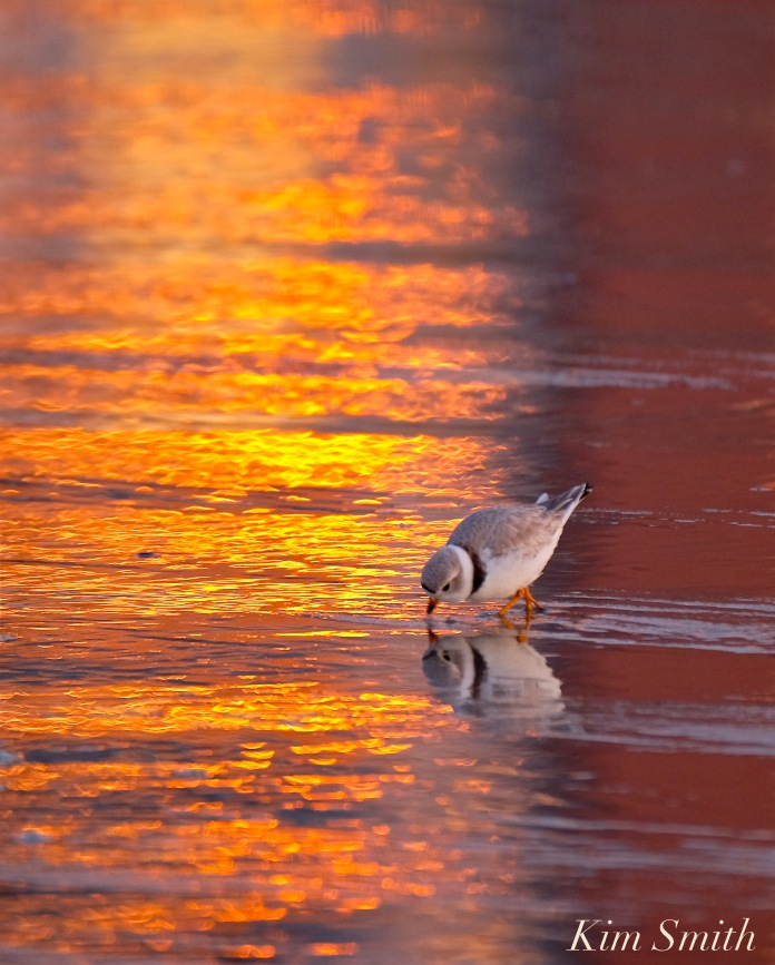 piping-plover-female-sunset-good-harbor-beach-copyright-kim-smith
