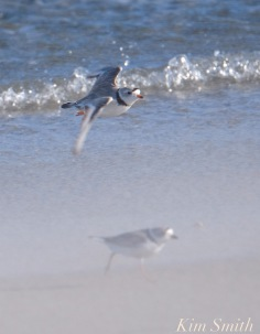 piping-plover-male-female-good-harbor-beach-fling-through-sandstorm-gloucester-ma-4-5-2018-copyright-kim-smith
