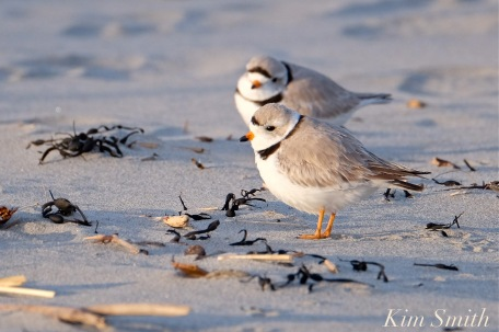 piping-plover-males-two-good-harbor-beach-gloucester-ma-copyright-kim-smith
