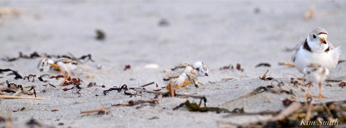 piping-plover-two-day-old-chicks-good-harbor-beach-10-copyright-kim-smith