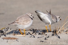 piping-plovers-breeding-courtship-good-harbor-beach-gloucester-ma-2-copyright-kim-smith