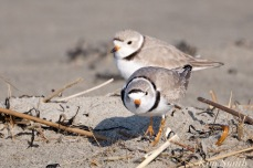 piping-plovers-breeding-courtship-good-harbor-beach-gloucester-ma-copyright-kim-smith