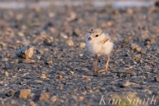 piping-plovers-chick-good-harbor-beach-parking-lot-copyright-kim-smith1