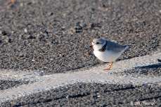 piping-plovers-nesting-in-parking-lot-3-copyright-kim-smith