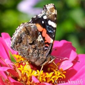 red-admiral-butterfly-vanessa-atalanta-copyright-kim-smith