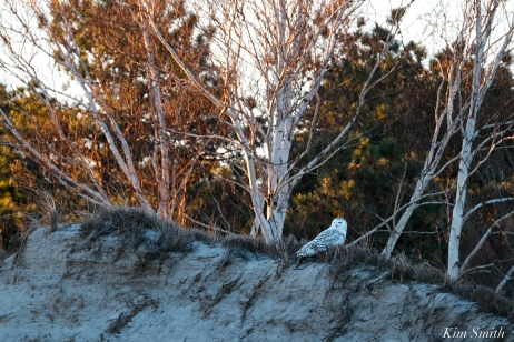 snowy owl birch tree crane beach copyright kim smith