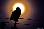 snowy-owl-feathers-in-the-moonlight-hedwig-gloucester-ma-6-copyright-kim-smith