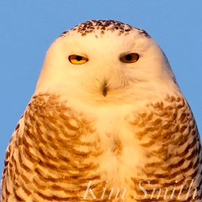 snowy-owl-hedwig-female-gloucester-ma-5-copyright-kim-smith1