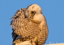 snowy-owl-hedwig-preening-2-copyright-kim-smith
