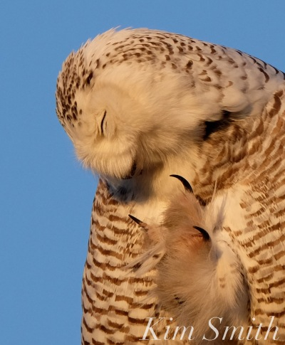 snowy-owl-hedwig-talons-copyright-kim-smith