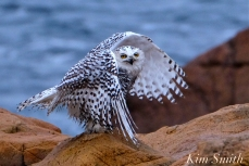 snowy-owl-taking-a-bath-hedwig-gloucester-ma-33-copyright-kim-smith