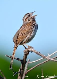 song-sparrow-good-harbor-beach-copyright-kim-smith