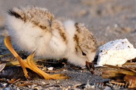 what-do-piping-plovers-eat-copyright-kim-smith